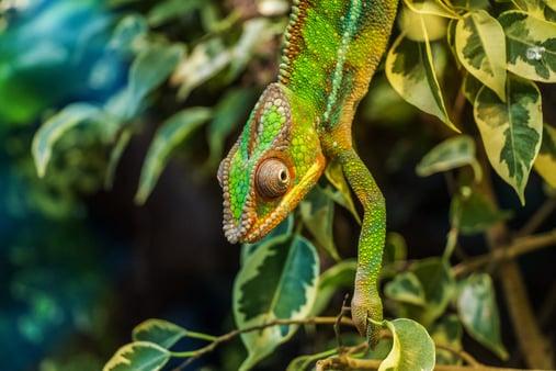chameleon-parduckameleon-furcifer-pardalis-reptile-53575